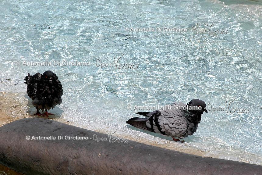 Caldo in città. Hot summer in the city..Piccioni si rinfrescano nelle fontane di Roma..Pigeons find refuge from the high summer temperature at fountain in Rome. ....