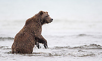 The salmon run had started early this particular year, and had already ended when I arrived. This sow was making one last attempt to catch a fish in the ocean.