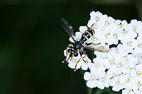 Dickkopffliege, Blasenkopffliege, Dickkopf-Fliege, Blasenkopf-Fliege, Dunkle Wespendickkopffliege, Dunkle Wespen-Dickkopffliege, Männchen, Conops flavipes, Conops melanocephala, thick-headed fly, male, Blasenkopffliegen, Conopidae, thick-headed flies