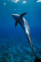 melon-headed whale, Peponocephala electra, female calf, two months old, which wandered into shallow water after becoming separated from pod, Keauhou, Kona, Hawaii Island (Central Pacific Ocean)