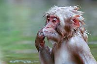 Japanese Macaque, Macaca fuscata. Nagano Pref. Japan Nikon D1x, AF-S 80-200mm