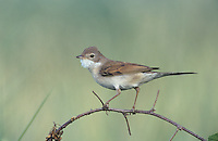 Common Whitethroat, Sylvia communis,adult, Scrivia River, Italy, Europe
