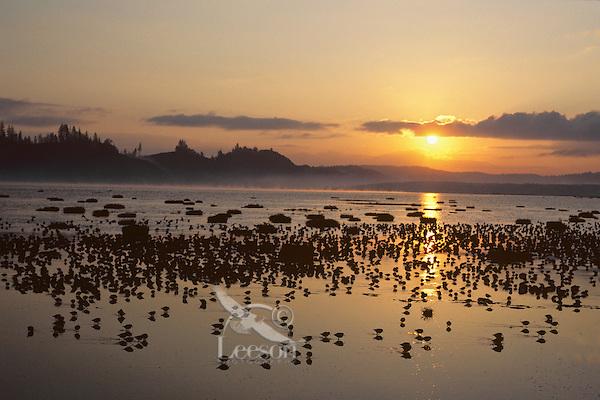 Shorebirds feeding and resting on estuary mud flats.  Sunrise.  Grays Harbor National Wildlife Refuge, Washington.  Shorebird migration.  Spring.