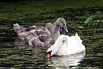 Mute swan adult with 2 cygnets