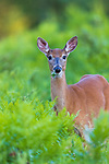 White-tailed doe eating clover in northern Wisconsin.
