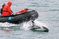 Peale's dolphin, Lagenorhynchus australis, adult, bow-riding, Falkland Islands, South Atlantic Ocean