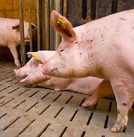 Europe, DEU, Germany, North Rhine-Westphalia, Bad Sassendorf, pigs in the open stable of the agricultural educational institution Haus Duesse....Europa, DEU, Deutschland, Nordrhein-Westfalen, Bad Sassendorf, Zuchtschweine im Offenstall des landwirtschaftlichen Schulungszentrums Haus Duesse......[Copyright / Contact: Vera Schimetzek, Bornstrasse 5, 58300 Wetter, Germany, cell: 0049.(0)151.21220918, schimetzek@web.de, www.schimetzek-foto.de, publication is subject to a fee and report, the General Terms and Conditions apply. Die Veroeffentlichung ist melde- und honorarpflichtig, die AGB sind bindend.]