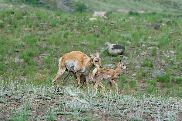 Pronghorn Antelope (Antiloapra americana) doe with twins.  Western U.S., June.