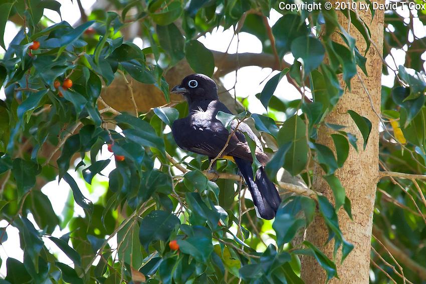 Black-Headed Trogon, El Ramate, Peten, Guatemala
