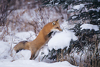 Red Fox (Vulpes vulpes), adult leaping, Colorado, USA
