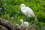 Great Egret with Chicks on Nest
