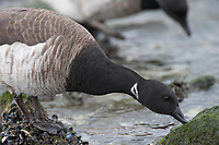 Brant (Branta bernicla) of the pale-bellied Atlantic subspecies B. b. hrota foraging on intertidal rocks at low tide. Ocean County, New Jersey. January.