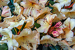 Rhododendron, Ericaceae, Double Eagle, Cypress Garden, Mill Valley, California