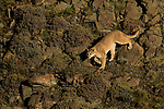 Mountain Lion (Puma concolor) female in pre-andean shrubland, Torres Del Paine, Torres del Paine National Park, Patagonia, Chile