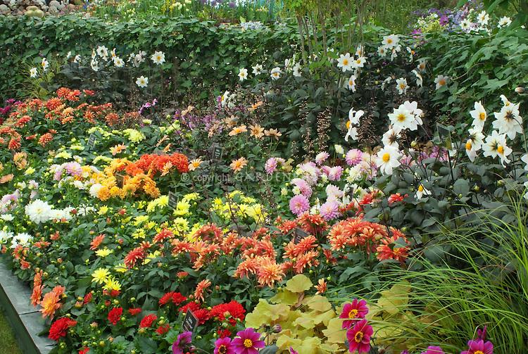 Variety of dahlias growing