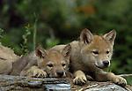 Wolf pups, Montana