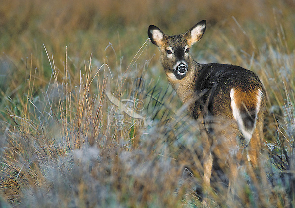 White-tailed deer yearling in first hoarfrost of autumn. .(Odocoileus virginianus)..Autumn. Canada.