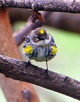 Adult male yellow-rumped (myrtle) warblerm molting to breeding plumage in late February