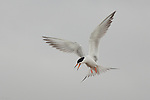 Angry Forster's Tern in Flight, Bolsa Chica Wildlife Refuge, Southern California