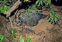 Green Sea Turtle ( Chelonia mydas ) laying eggs, Sipadan Island, Borneo - Sulu Sea, Malaysia, Pacific Ocean