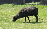 schwarzes Schaf frisst Gras - Werdum 24.07.2020: Haustierpark Werdum