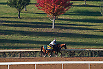 November 3, 2020: Tiz The Law, trained by trainer Barclay Tagg, exercises in preparation for the Breeders' Cup Classic at Keeneland Racetrack in Lexington, Kentucky on November 3, 2020. John Voorhees/Eclipse Sportswire/Breeders Cup/CSM