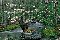 Flowering dogwood, Greenbrier Cove<br /> Middle Prong Little Pigeon River<br /> Great Smoky Mountains National Park<br /> Tennessee
