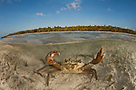 Mud crab in shallow sandy waters split level with island.