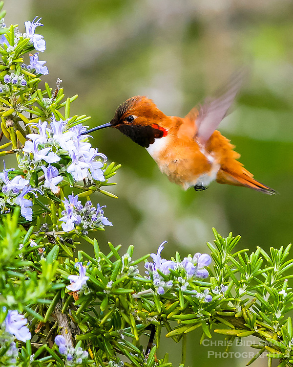 Rufous Hummingbird in Spring feeding on rosemary blossoms in the Spring