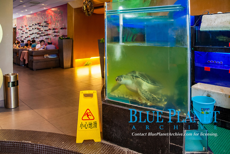 a live green sea turtle, Chelonia mydas, in a restaurant aquarium in the city of Nanning, Guangxi, China
