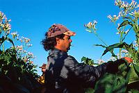 Luc Avolio and Co-worker Topping Tobacco, Avolio's Farm, Mareeba, 2003.