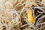 Paradise House Reef, Taveuni, Fiji; a Clark's Anemonefish (Amphiprion clarkii) swims amongst the tentacles of a Leathery Sea Anemone (Heteractis crispa)