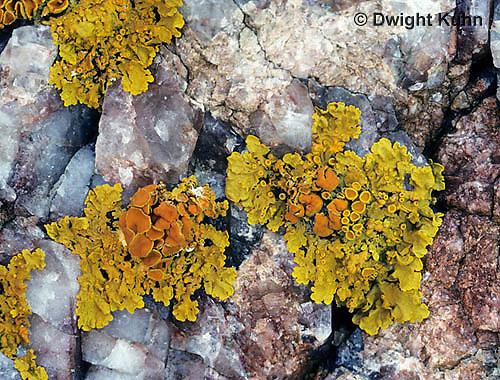 LI08-006a  Crustose Lichen - on rock