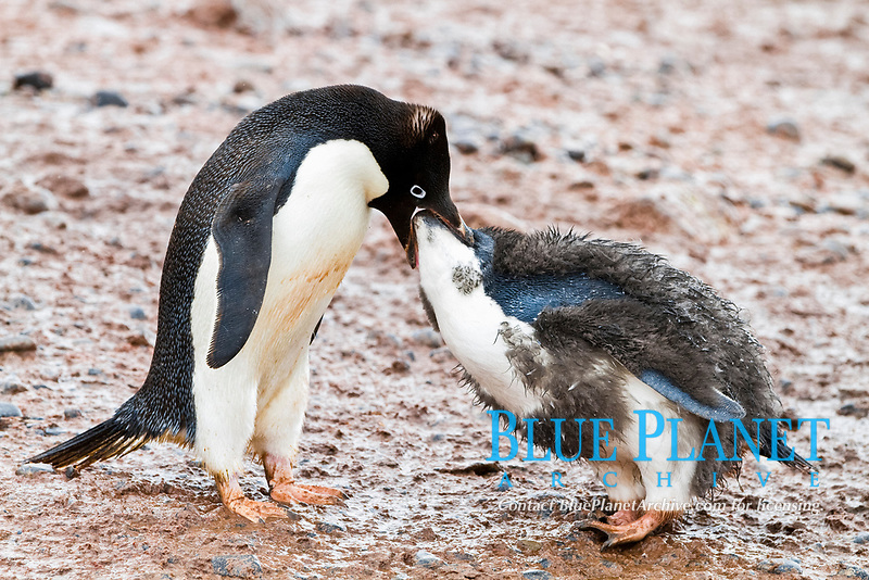 Adélie penguin (Pygoscelis adeliae) adult feeding chick at breeding colony at Brown Bluff on the eastern side of the Antarctic Peninsula, Antarctica, Southern Ocean