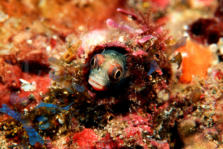 Barnacle blenny, Acanthemblemaria sp.,  usually inhabit abandoned barnacles for protection from predators. Isabella Is., Mexico
