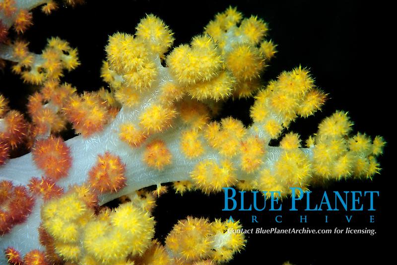 Soft coral, Dendronephthya sp., Lapus Lapus Island marine park, Malapascua, Cebu, Philippines, Pacific Ocean