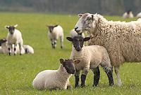Suffolk cross lambs out of Mule ewe, Lancashire.