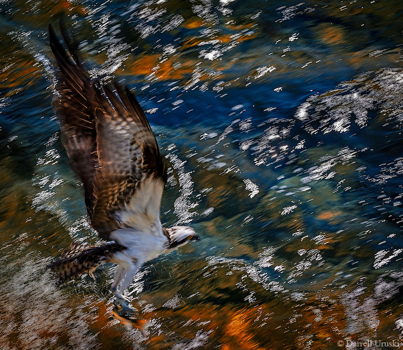 Fine Art Print of an Osprey fishing. This Osprey has just caught a fish in it's claws and is flying away. The location is the Okanagan valley in British Columbia Canada.