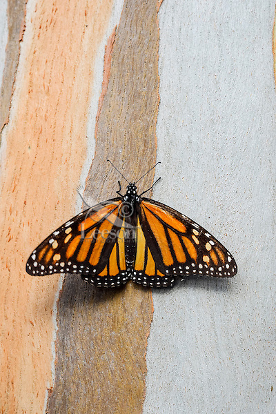 Western Monarch Butterfly (Danaus plexippus) on the side of a Eucalyptus tree, coastal California.  Winter.