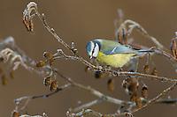 Blaumeise, Blau-Meise, Meise, Meisen, Cyanistes caeruleus, Parus caeruleus, blue tit
