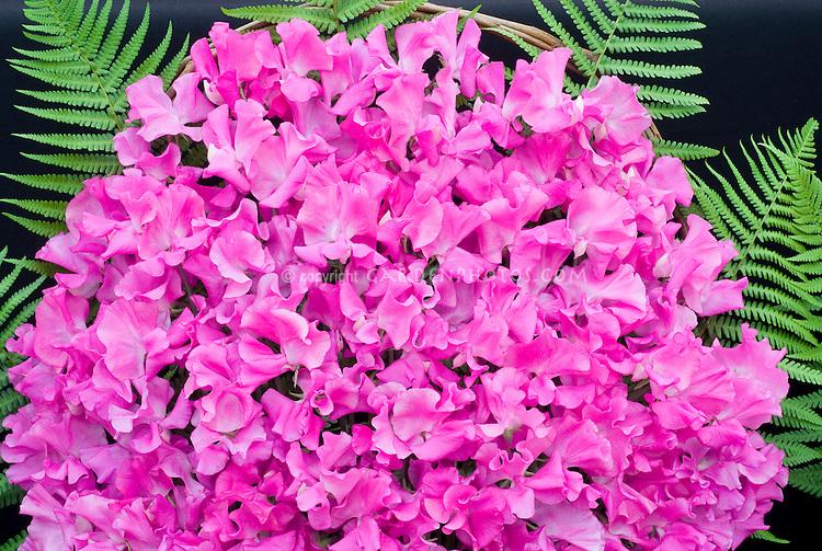 Sweetpeas pink with ferns, cut flower arrangement display exhibition of blooms, Lathyrus odoratus