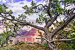 Pinyon Pine along the Rim Trail near Hermit's Rest, South Rim, Grand Canyon National Park, Arizona, USA