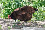 Rhode Island Red Chicken facing left.