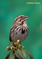 SW01-9006 Song Sparrow Male singing, Melospiza melodia, © Brian Kuhn/Dwight Kuhn Photography
