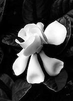 Gardenia blossom.<br /> <br /> Nikon F3HP, 100mm macro lens, Ilford XP2 film