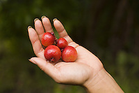Strawberry guavas (psidium cattleianum) in the hand- delicious and growing wild in Hawaii's forrests