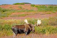 moose, Alces alces, bull feeding on willow bushes in Denali National Park, interior, Alaska, USA, USA