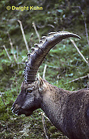 MA34-007z   Alpine Ibex - Capra ibex