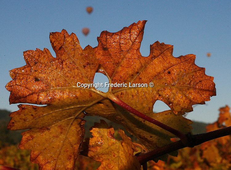 Hot air Balloons sail over a autumn vineyard during sunrise in Napa Valley, California.