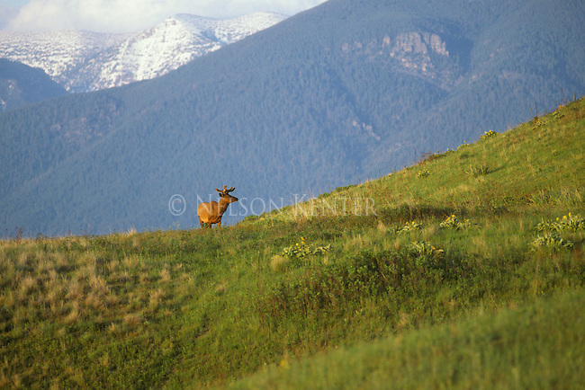 Scenic view of snow capped mounatins and a Bull Elk with early summer antler growth in western Montana